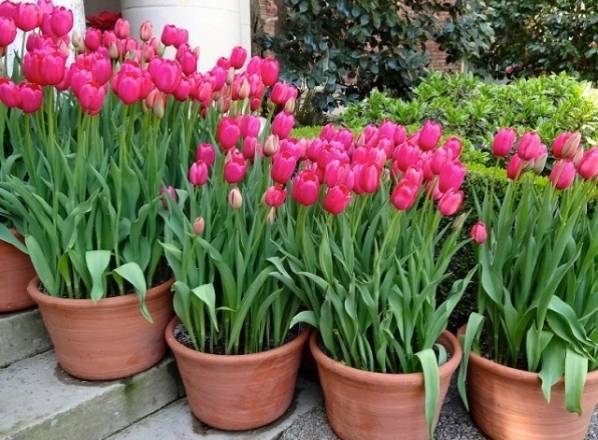 Тюльпаны осенью — когда и как сажать луковицы тюльпанов под зиму