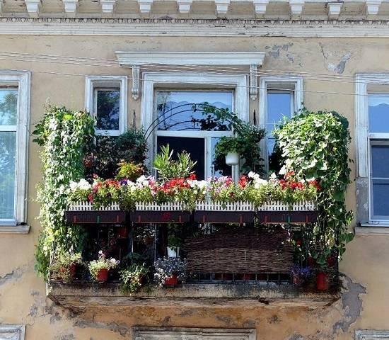 Виноград на балконе | выращивание винограда на балконе