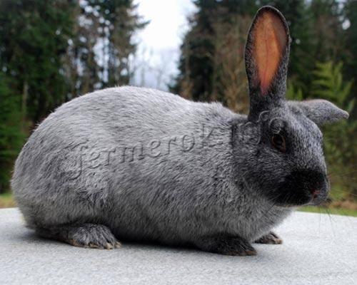 Как выбрать кроликов мясного направления для разведения? - общая информация - 2020