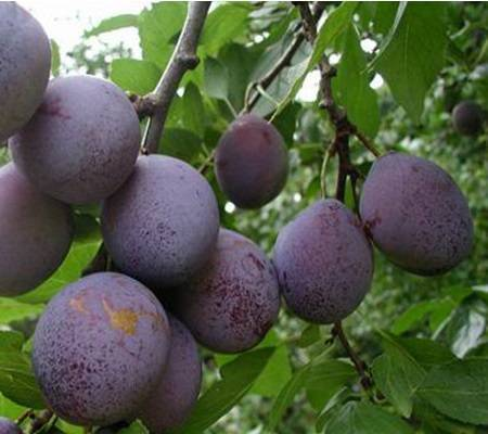 Гибриды от скрещивания вишни и других деревьев: черемухи, черешни, сливы, алычи, характеристика, плюсы и минусы, особенности выращивания, плоды