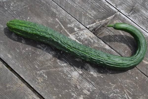 Китайский огурец – выращивание в теплице и открытом грунте