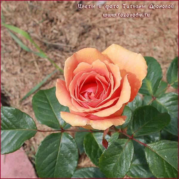 О розе easy does it: описание и характеристики сорта, уход и выращивание