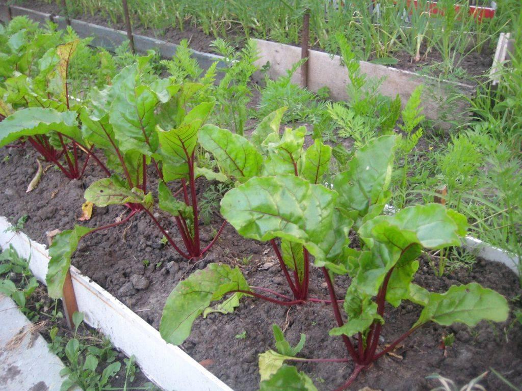 Сорта ранней свеклы: что это такое,  а также обзор лучших разновидностей овоща, особенности выращивания в открытом грунте