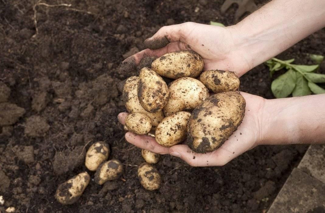 Сонник смотреть как копают картошку. к чему снится смотреть как копают картошку видеть во сне - сонник дома солнца