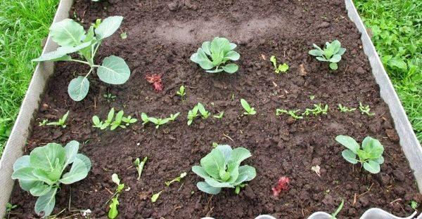 Развитие капусты при посадке в лунку весной. удобрения в этот период для получения высокого урожая