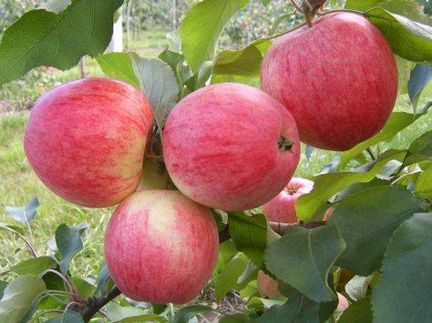 Лучшие зимние сорта яблони для средней полосы рф и уход за ними