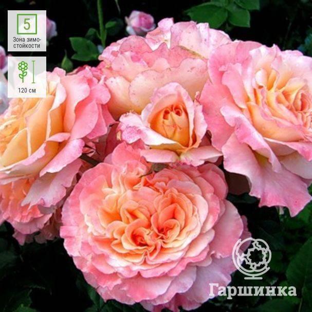 Роза августа луиза: описание, преимущества, награды, агротехника | о розе