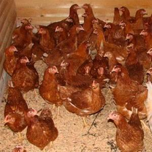 Почему куры, петухи, бройлеры и цыплята гоняют, заклевывают друг друга до крови