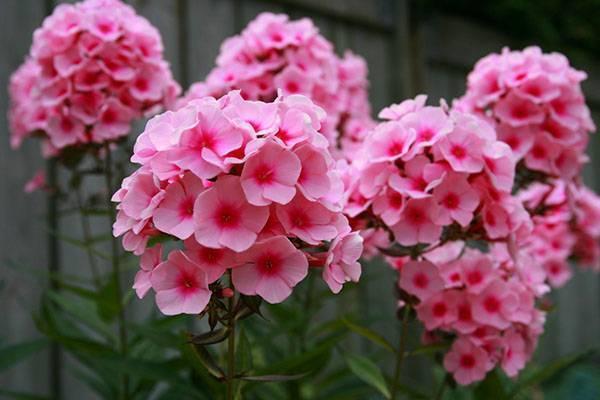 Низкорослые цветы для клумбы цветущие все лето: названия с фото