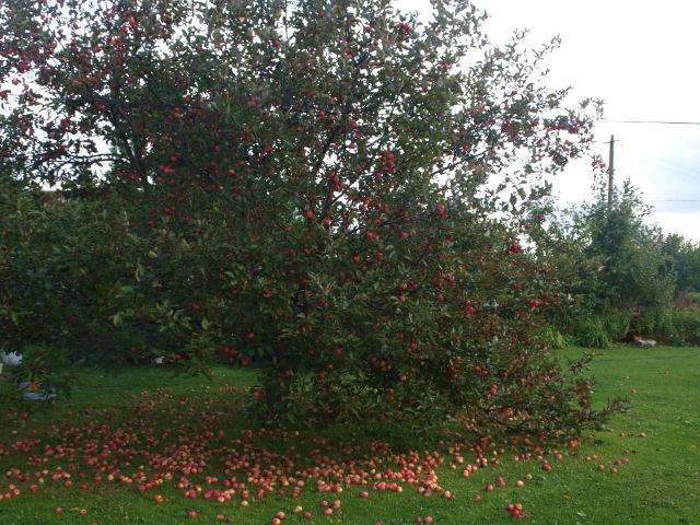 Прекрасные сорта декоративных яблонь