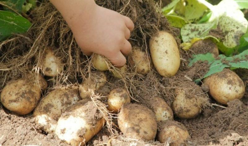 Преимущества и недостатки сорта картофеля удача