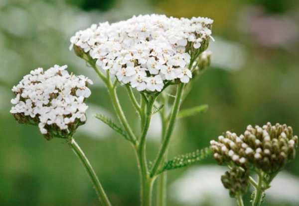 Мятлик луговой – описание растения и его особенности