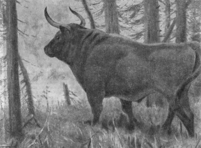 Мясные породы коров (45 фото): список крс пород мясного направления. какие породы лучше брать на откорм в россии? описание телят бельгийской голубой породы и других