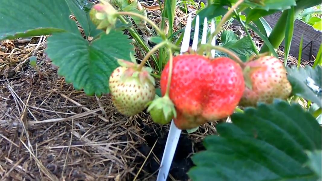 Садовая земляника: посадка и уход: фото, описание выращивания, обрезка и размножение