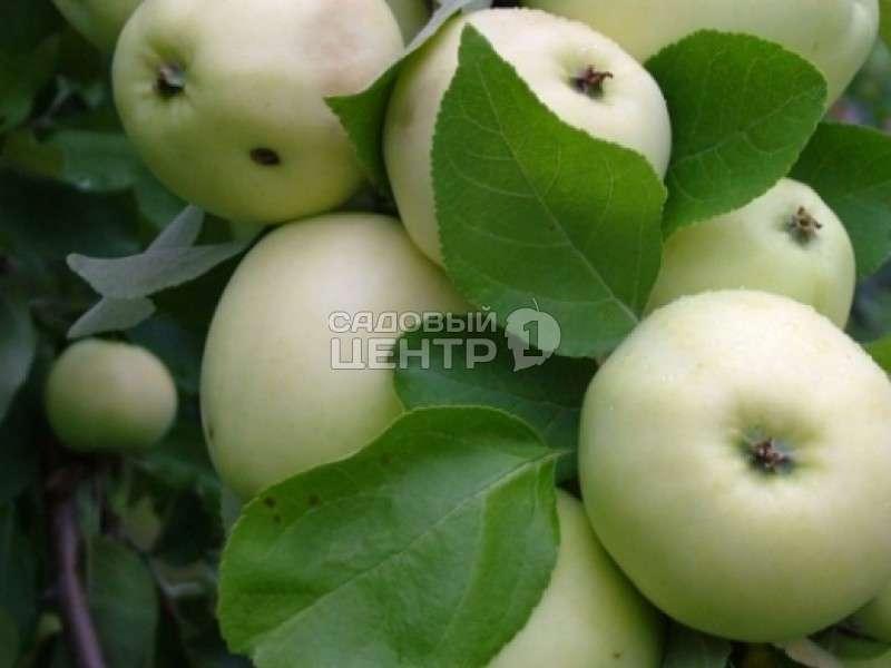 Папировка (сорт яблони) — википедия переиздание // wiki 2