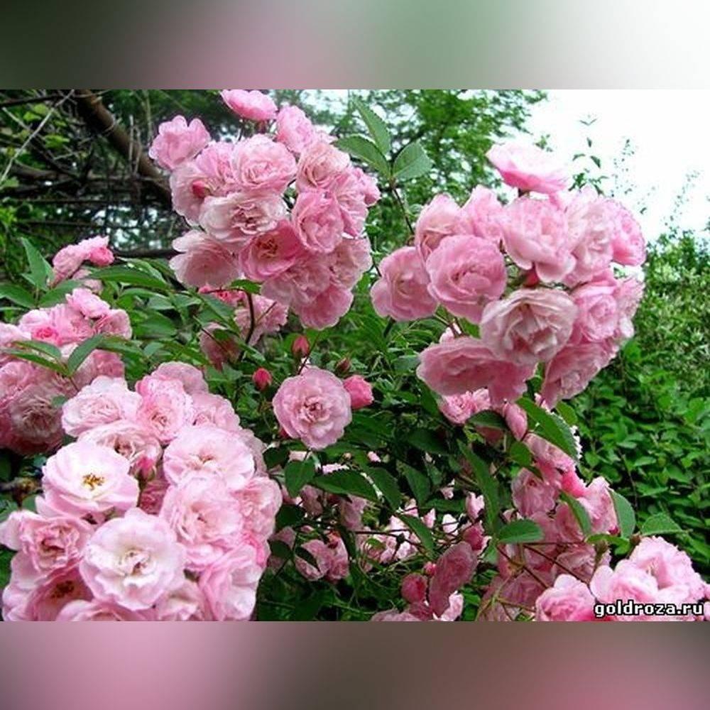 Особенности выращивания мускусных роз