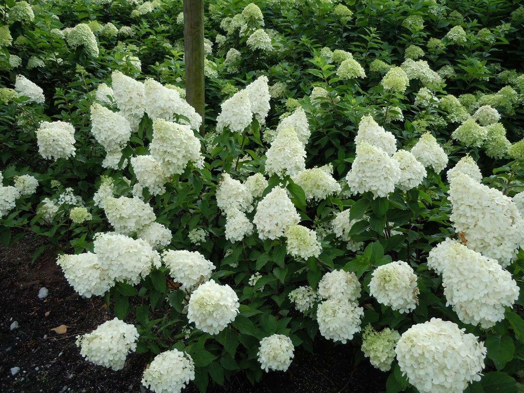 дешевые декоративные садовые кустарники фото и названия продолжаем