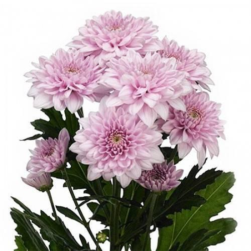 Виды и сорта хризантем