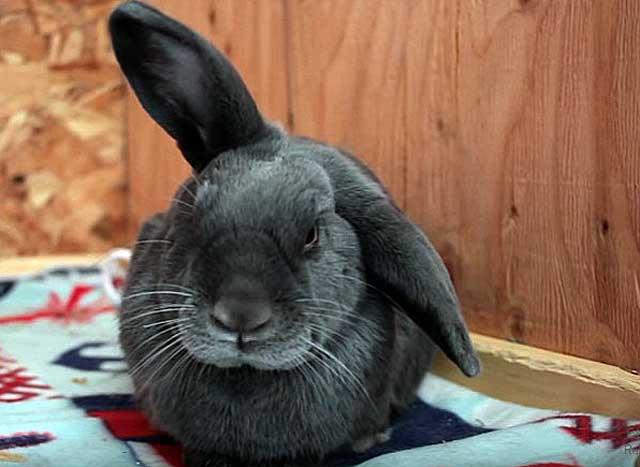 Разновидности заболевание ушей кроликов их лечение и профилактика