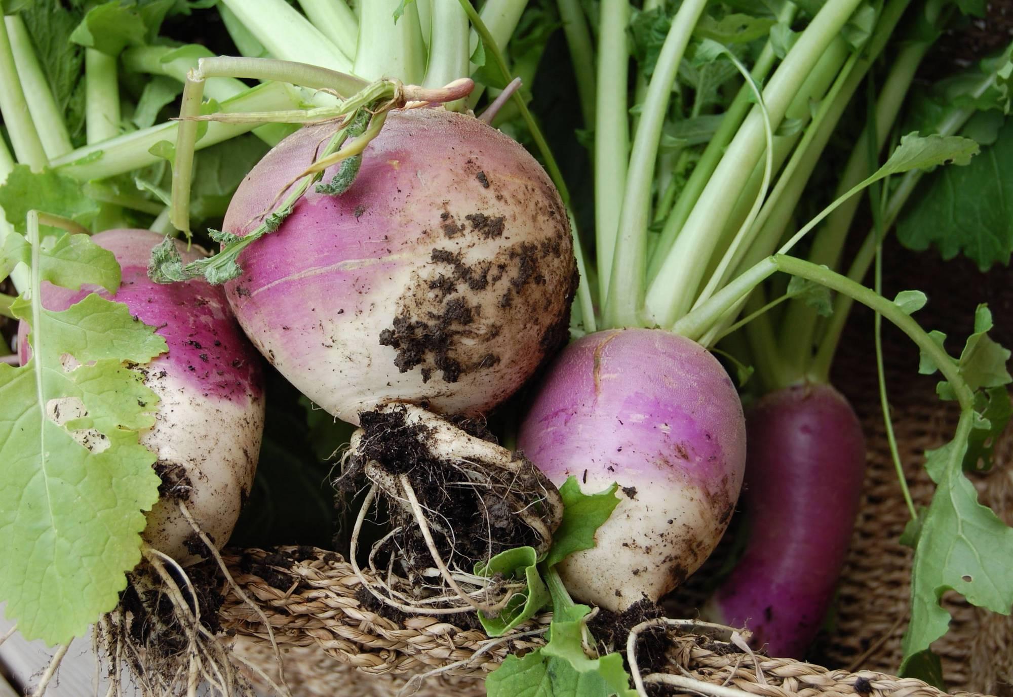 Как организовать посадку репы: сроки посева, выбор сорта, цены на семена, заделывание в открытый грунт и в теплицы