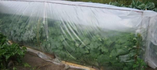 Огурцы под укрывным материалом: выбор материала, советы опытных огородников по уходу и выращиванию (85 фото)