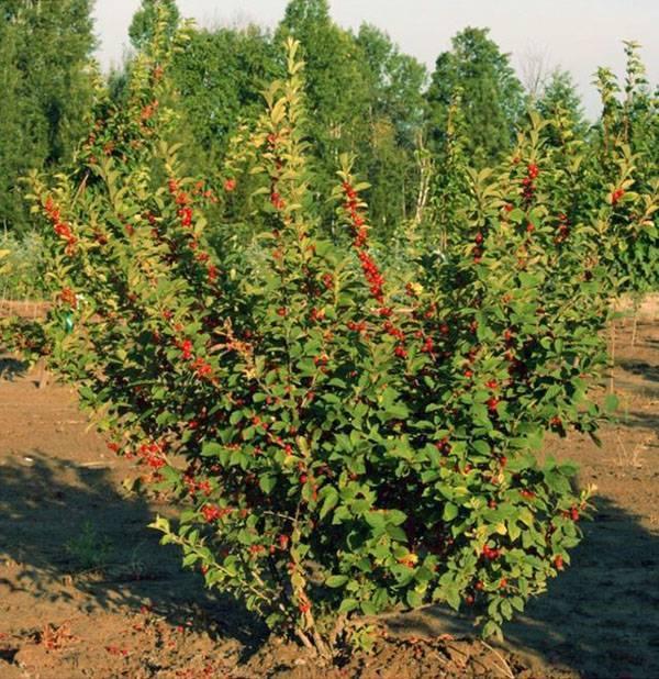 Войлочная вишня: сорта, выращивание и уход