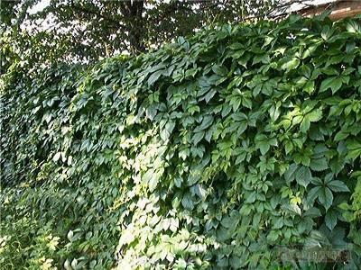 Девичий виноград из семян: посадка и уход