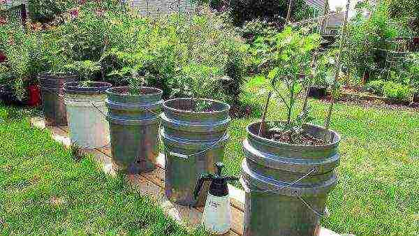 Как правильно вырастить помидоры в парнике: видео посадки, выращивание томатов под пленочными укрытиями