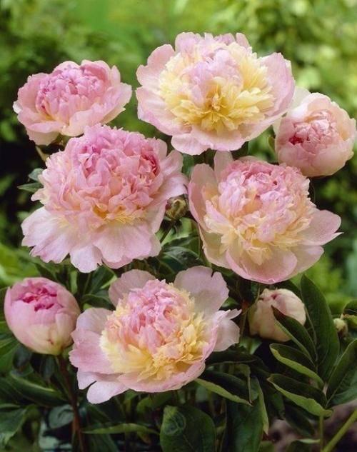 Как правильно ухаживать за пионами после цветения, чтобы получить на следующий год пышные кусты