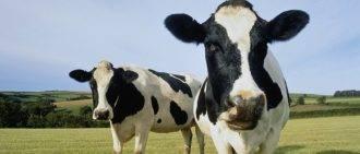 Сколько сена съедает бык за год