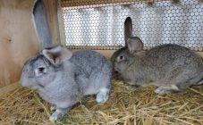 Забой кроликов в домашних условиях для начинающих: советы, видео