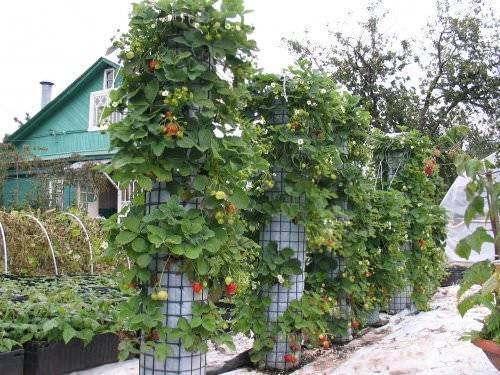 Хотите посадить клубнику осенью? пора готовить грядки