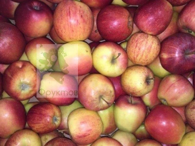 Сорт яблок гала