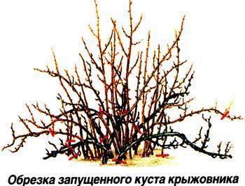 Смородина и крыжовник в апреле
