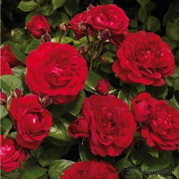 Роза amelia renaissance (амелия ренессанс). описание сорта розы «амелия» с отзывами и фото роза амелия ренессанс