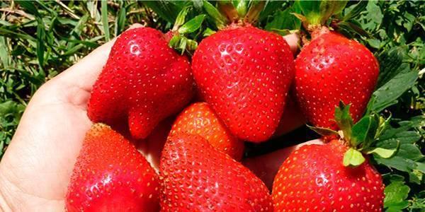 Клубника сорт альба: товарный вид и хорошая урожайность