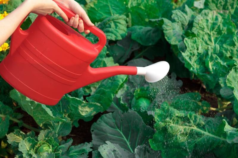 Сколько раз поливать капусту после посадки. способы полива капусты