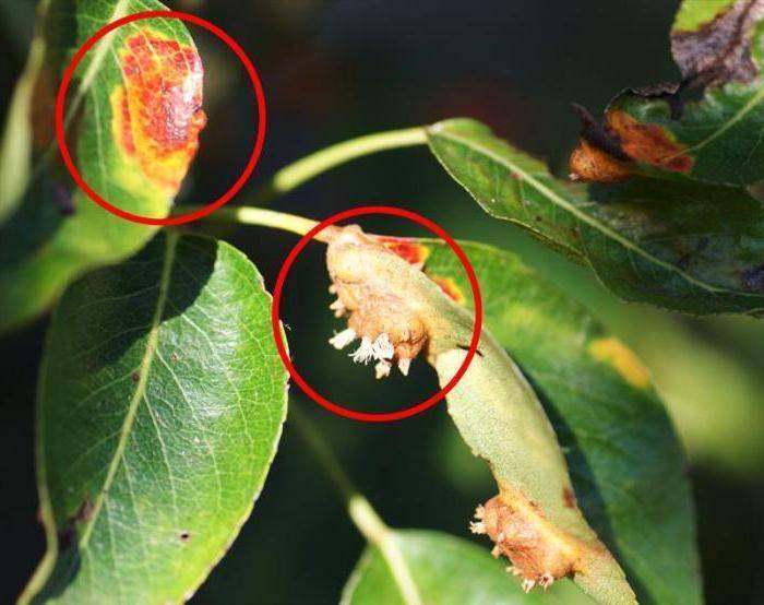 Самые опасные болезни груши (описания, фото, способы лечения)