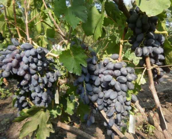 Виноград сорта академик — чудо селекции