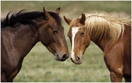 Сап у лошадей: возбудитель болезни, течение и симптомы болезни, диагноз, лечение, иммунитет, меры борьбы.    ветеринарная служба владимирской области