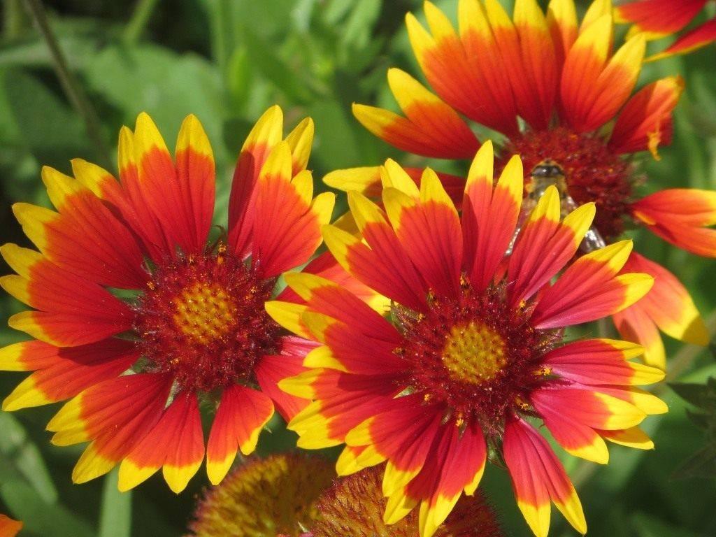 Гайлардия многолетняя: посадка из семян и уход
