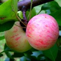 Рекомендованные специалистами сорта яблонь и груш