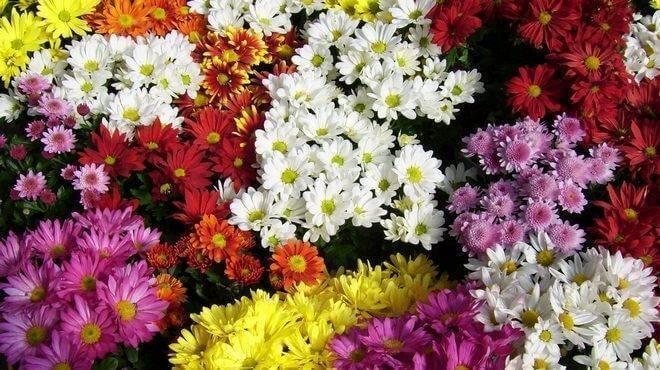 Хризантемы: посадка и уход, фото, сорта и виды