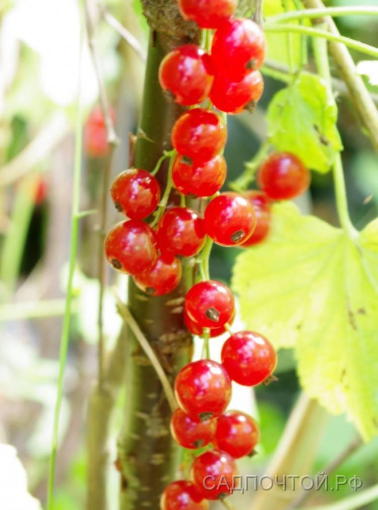 Посадка красной смородины, особенности ухода
