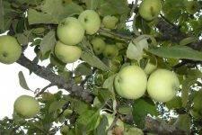 Яблоня белый налив: посадка и уход, особенности технологий выращивания