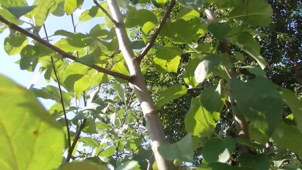 Почему колоновидная яблоня не дает плоды