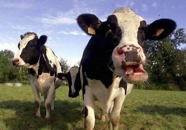 Корова переела дробленки и вздулся живот — что делать