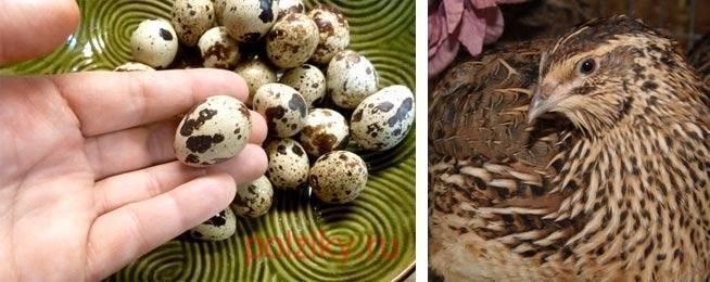 Сколько яиц может снести одна перепелка в день и когда начинают активно нестись перепела
