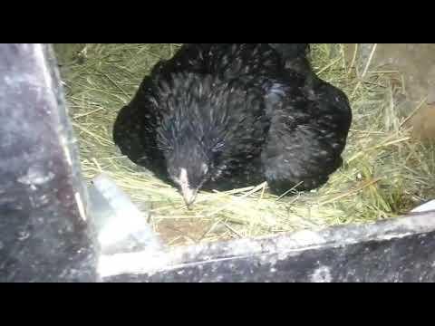 Если курица-наседка в гнезде, значит, дело спорится и цыплятки водятся