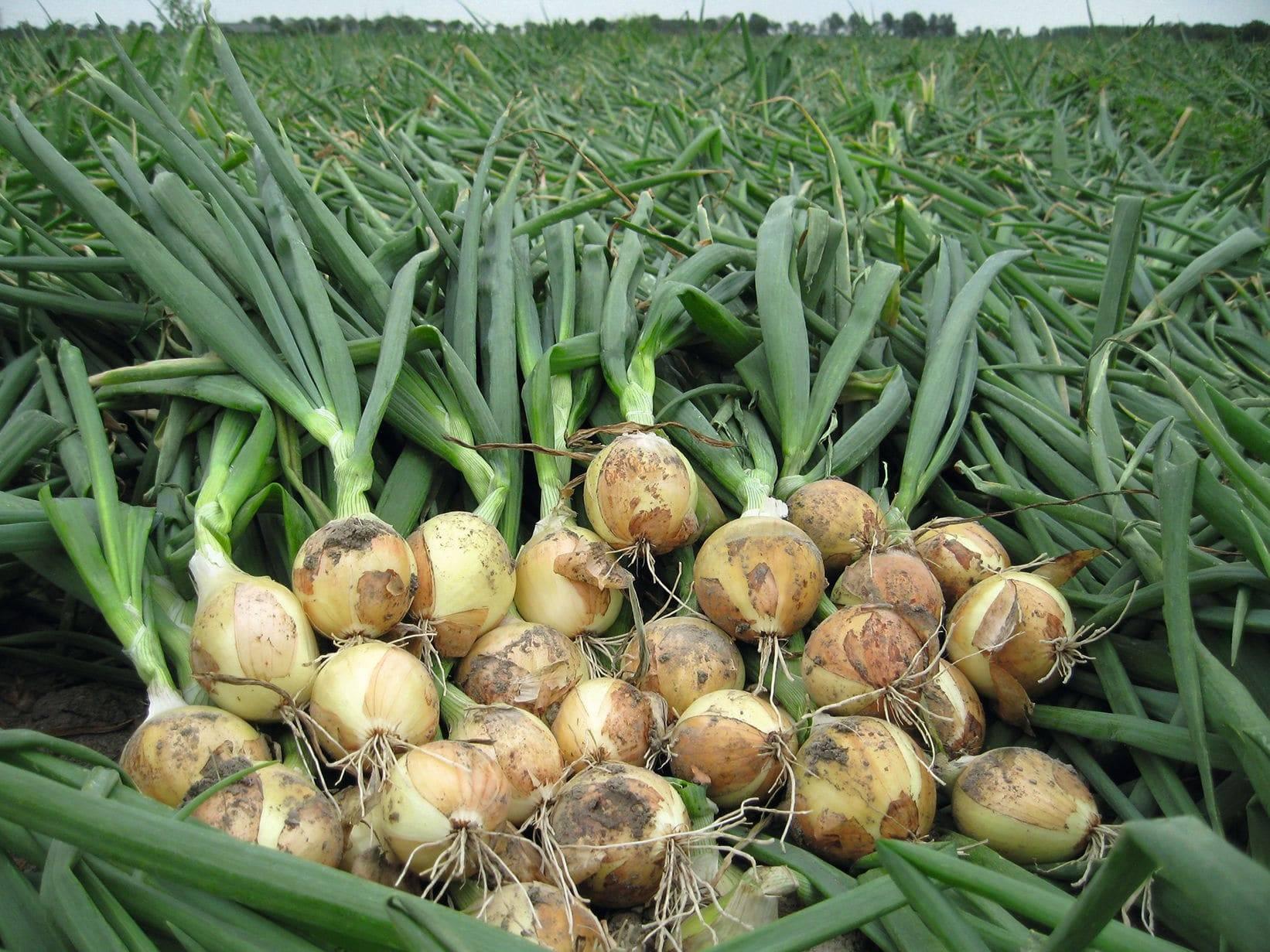 Секреты и правила выращивания рассады лука из семян